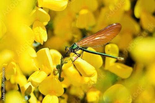 Photo libellule sur un genêt en fleur