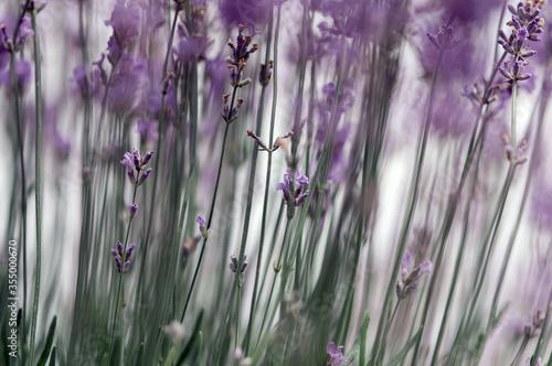 Kwiaty lawenda na pastelowym rozmytym tle - 355000670