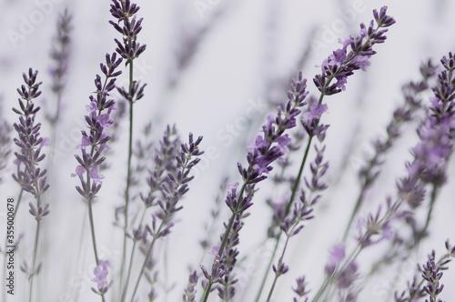 Kwiaty lawenda na pastelowym rozmytym tle - 355000678