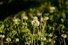 A Group Of  White Clover Flowe...