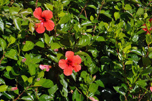Two Red Hibiscus Flowers In Greenery