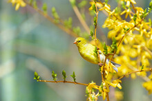 Yellow Female Goldfinch Perched On A Branch With Yellow Flowers