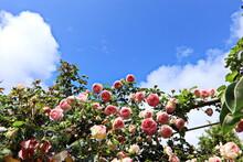 Beautiful Spring Roses Against...