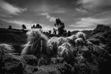 Cactus Alto Andino En Blanco Y...