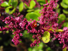 Close-up Of Red Spotted Ladybug On Pink Flower Branch