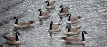 Gaggle Of Canadian Geese On The Water
