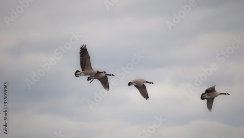 Canvas-taulu Gaggle of Canadian Geese Migrating Dream-Like Background