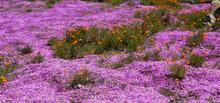 Ice Plant Succulents And Orange California Poppy, Big Sur, California, USA