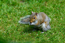 Gray Squirrel On The Grass Eating Seeds With Both Front Paws At Mouth