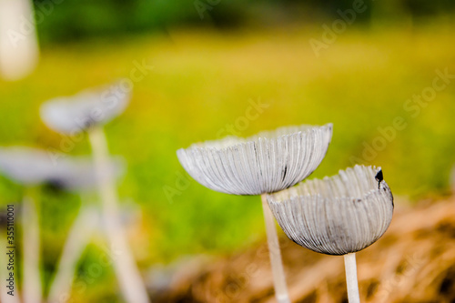 Macrophotograph of a fungus or mushroom in the family Agaricaceae in its natural space Wallpaper Mural