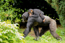 A Mother Chimpanzee Walking Along With A Cute Baby Riding On Its Back Sucking Its Thumb