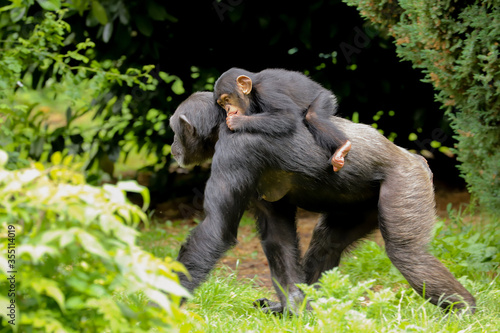 A mother chimpanzee walking along with a cute baby riding on its back sucking it Canvas Print