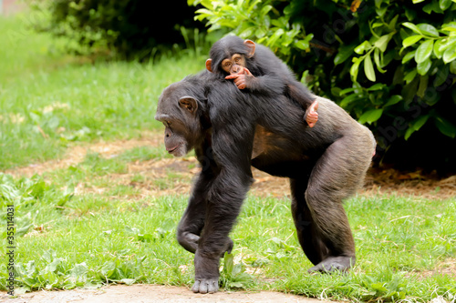 Obraz na plátně A mother chimpanzee walking along with a cute baby riding on its back sucking it