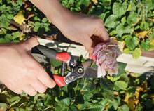 A Gardener Is Deadheading Rose...