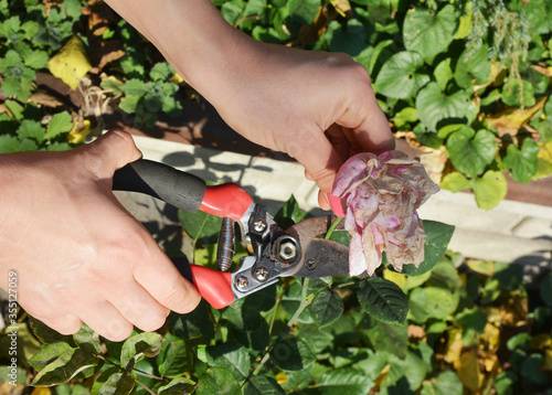 Fotografía A gardener is deadheading roses, spent or withered flowers using pruning shear to encourage further blooms in summer