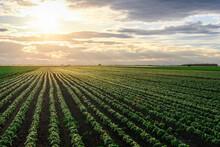 Open Soybean Field At Sunset.