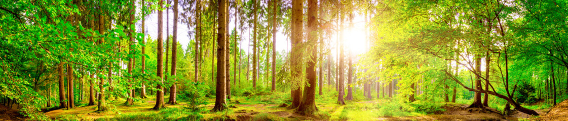 Fototapeta Drzewa Forest panorama with bright sun shining through the trees