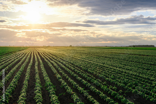 Canvastavla Open soybean field at sunset.