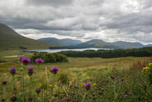 Loch Tulla With Thistle Flowers