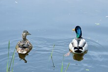 A Pair Of Ducks Swims Across The Lake On A Sunny Summer Day