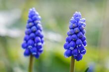 Beautiful Blue Purple Grape Hyacinth Blooming Close Up