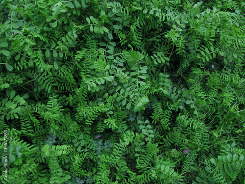 Fototapeta 庭のマメ科の草むら