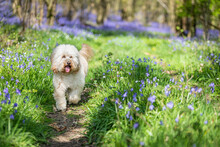 Dog In Bluebell Wood