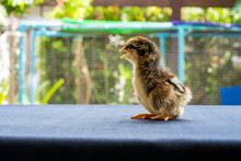 Baby Mini Wyandotte Chick On Blue Cloth Table Cover With Green Garden Bokeh Blur Background.