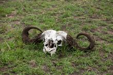 Skull Of A Buffalo Lying On The Ground At Masai Mara, Kenya