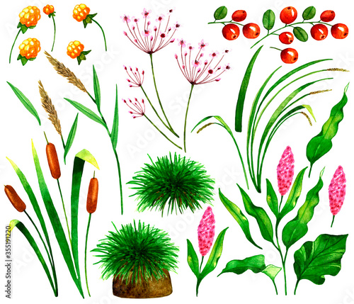 Set with marsh plants,berries and flowers:cloudberries,lingonberries,reeds,sedge,cattail,tussock with grass,Persicaria Amphibia,Butomus umbellatus, Tapéta, Fotótapéta