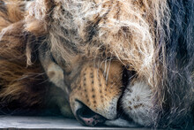 Lion's Head Close-up, Sleeping...