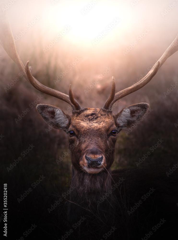 Fototapeta Fallow Deer at dawn resting on the ground