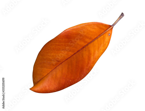 Photo magnolia autumn leaf isolated on white