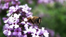 Bee Sits On Small Purple Flower, Close-up. High Quality FullHD Footage
