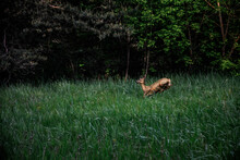 Dzika Sarna W Lesie