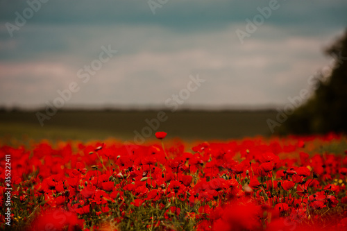 Fototapeta Beautiful field of red poppies in the sunset light. close up of red poppy flowers in a field. Red flowers background. Beautiful nature. Landscape. Romantic red flowers. obraz na płótnie
