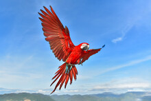 Macaw Scarlet Spreading Wings ...