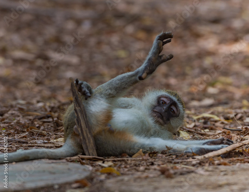 Fotografie, Tablou Playfull Monkey on the ground