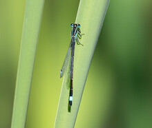 Azure Damselfly On A Reed