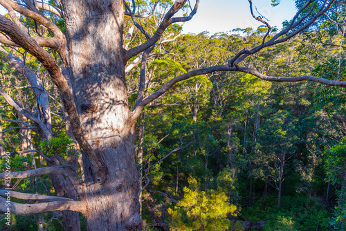 Valokuvatapetti Ancient tingle forest at the valley of giants in Australia
