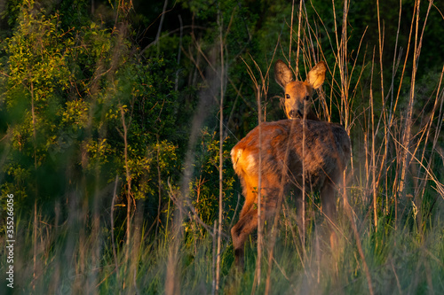 Leinwand Poster Wildlife picture of a female Roe deer (Capreolus capreolus) standing on a meadow while golden hour