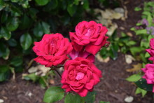 Three Roses Cling To One Another