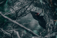 Female Magellanic Woodpecker I...