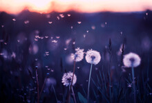 Natural Background With White Fluffy Round Flowers Dandelions And Flying Light Seeds In Purple Tones
