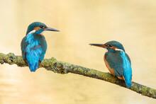 Couple Of Blue Earopean Kingfi...