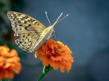 Nature.Butterfly On A Tagetis Flower Close-up.