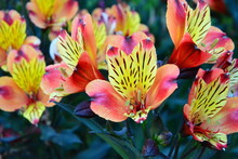 Alstroemeria Aurantiaca Blossom In Garden Of Getty Center