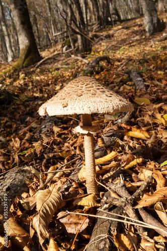Fototapeta Sunlit parasol mushroom growing in sunny autumn forest