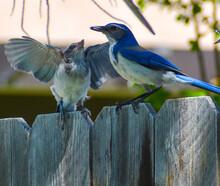Mama Blue Jay Feeding Baby Fle...