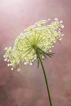 Macro Of Queen Ann's Lace Isolated On Pink